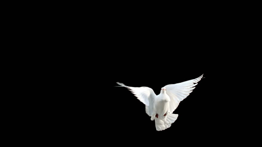 Dove flying on black background in slow motion #13255691