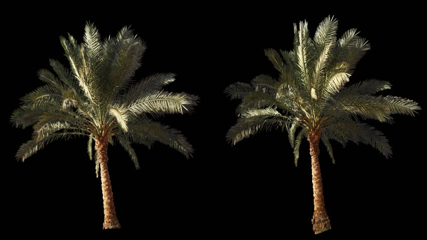 2 blowing on the wind beautiful green full size real tropical palm trees isolated on alpha channel with black and white luminance matte, perfect for film, digital composition.
