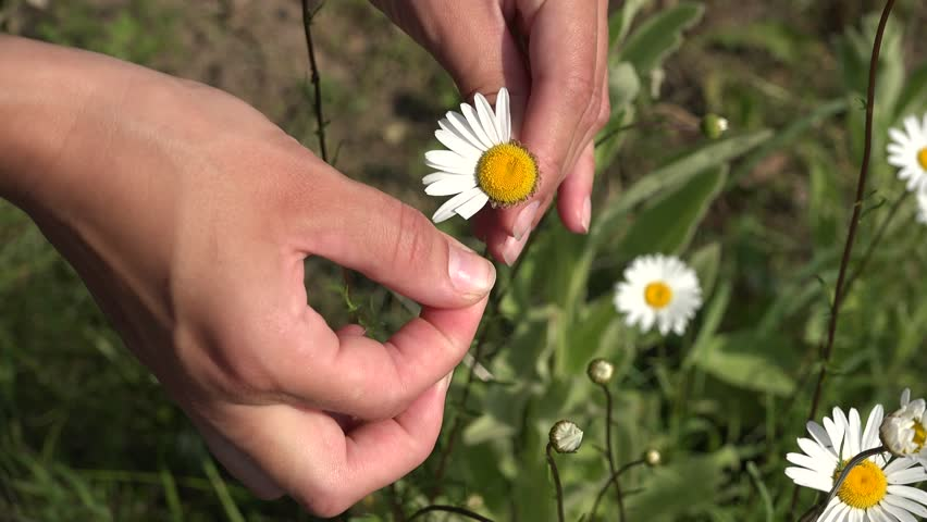 Teenager girl guesses on chamomile in summer. Woman hands tears off petals of daisy flower. Static closeup shot. 4K