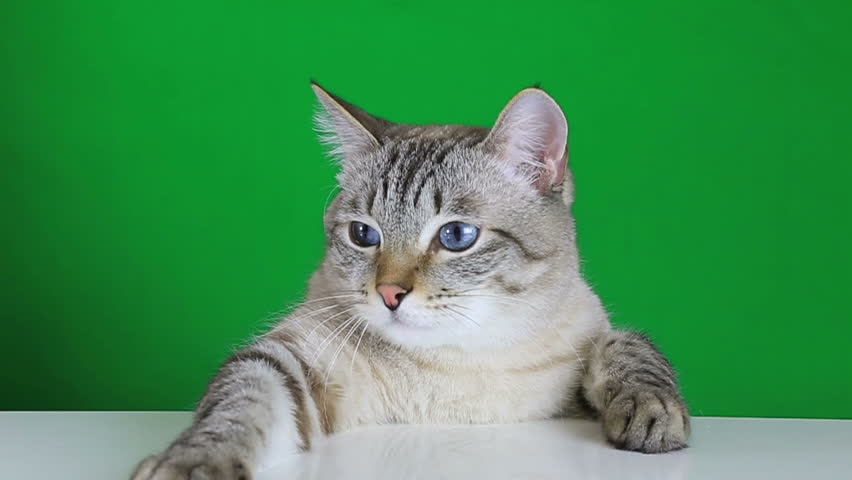 Funny cat sitting at the table and shakes his head on green screen background | Shutterstock HD Video #13476311