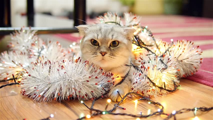Scottish fold cat with christmas garland and tinsel 3