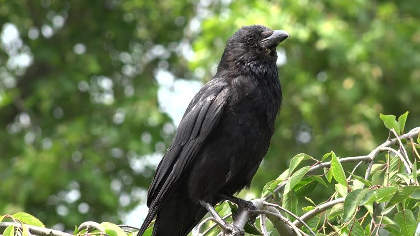4K Flying Crow Raven, Black Birds on Branch in Cherry Tree, Nature Summer View | Shutterstock HD Video #13627901