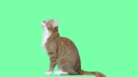 cute cat jumping on a green screen