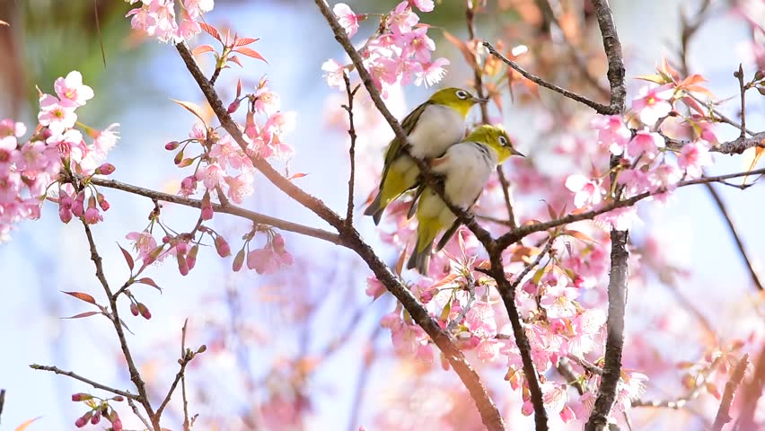 Beautiful birds with cherry blossom stock footage video 100 browse video categories mightylinksfo