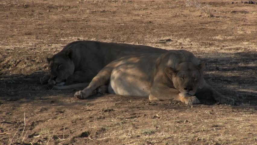 Sleeping Lionesses and yawning Lion in Etosha Park, Namibia