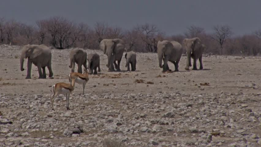 Herd of elephants walking in search of a waterhole, Etosha Park, Namibia