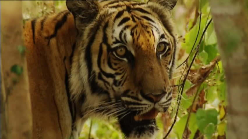 Cambodian Tiger in Forest  Declared Stock Footage Video (100% Royalty-free)  13778921 | Shutterstock