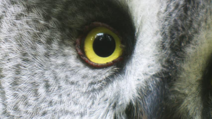 Great grey owl   Shutterstock HD Video #1382311