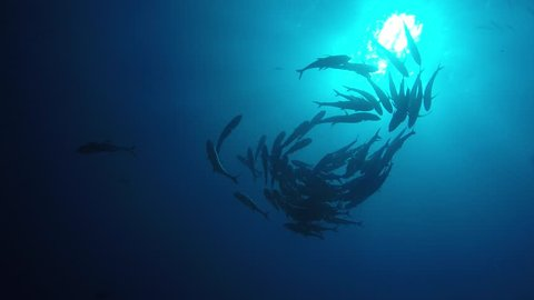 Big eye Trevally Jack, (Caranx sexfasciatus) Forming a polarized school, bait ball or tornado. Cabo Pulmo National Park, The world's aquarium. Baja California Sur,Mexico.