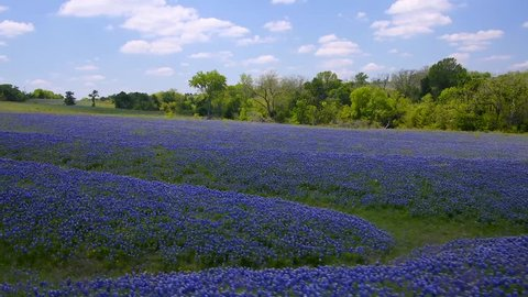 Aerial over a vast field of bluebonnets near Ennis Texas. Dolly shot across the field revealing lush bluebonnets. Continue tracking left and panning across the field from a height of about 8 feet.