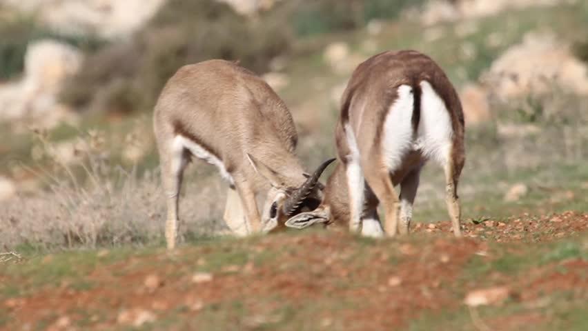 Israeli Mountain gazelle male fighting  Beautiful shot of Israeli Mountain gazelle male juveniles fighting