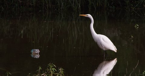 Great egret standing next to a floating plastic water bottle.  Pollution.
