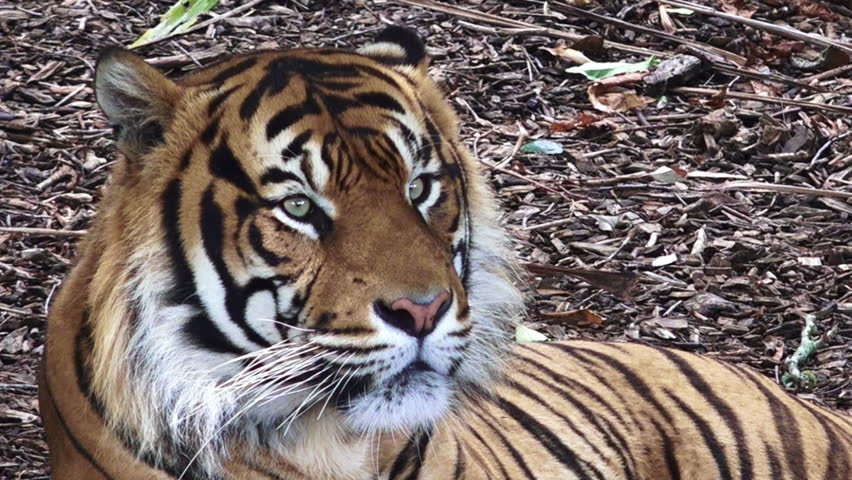 Sumatran tiger (Panthera tigris sumatrae) portrait. Unlike most cats, tigers are keen swimmers; they also use water as a way of cooling off. | Shutterstock HD Video #14002781
