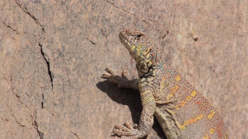 Ornate mastigure lizard on a rock