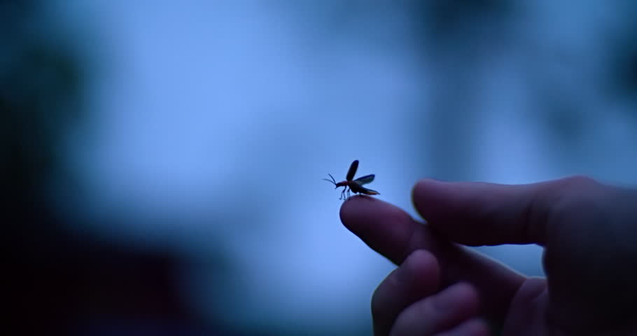 Common eastern firefly flying off a human finger.
