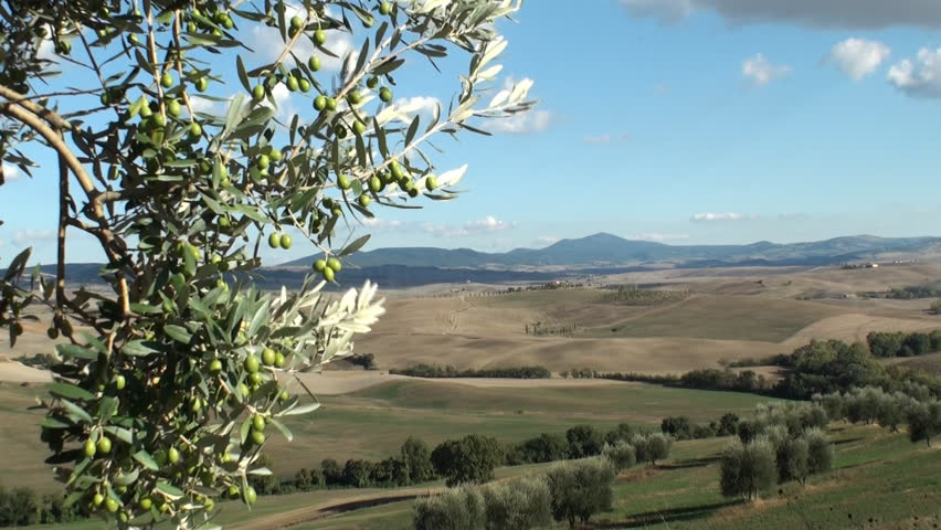 Olive tree against a backdrop of the Tuscan Val d'Orcia