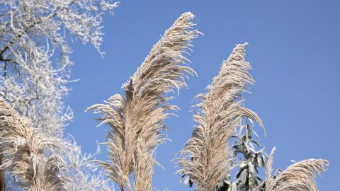 Pampas grass in the winter