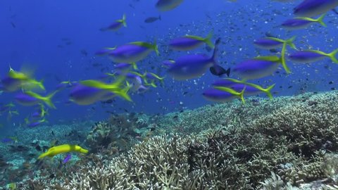 School of blue fish in the clean sea reef. Amazing, beautiful underwater world Bali Indonesia and  life of its inhabitants, creatures and diving, travels with them.  Wonderful experience in sea