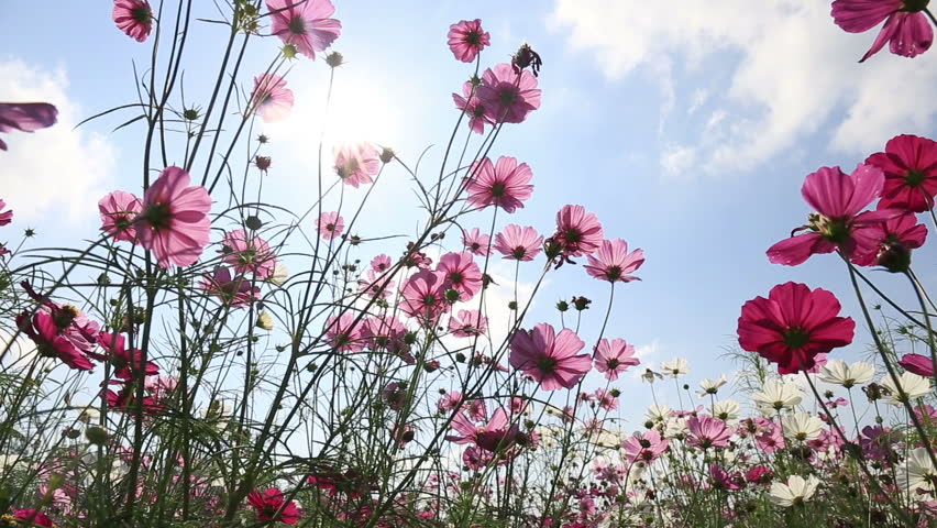 Beautiful cosmos flowers swaying in the breeze with sky background #14177099