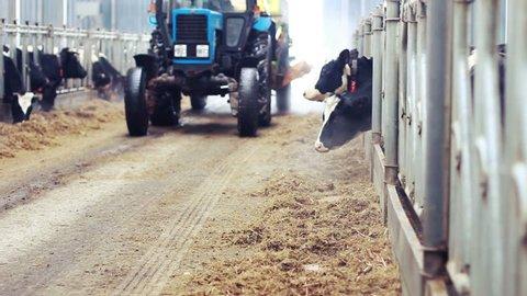 Farmer feeding cows in barn/Cows feeding on dairy farm/Milk cows in barn/Calf feeding on milk farm/Livestock on farm/Tractor in barn/Agriculture industry
