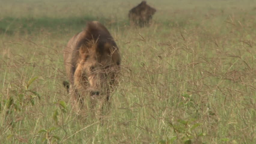 Lion walking through grass.