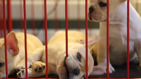 Three little dogs are playing in a cage.