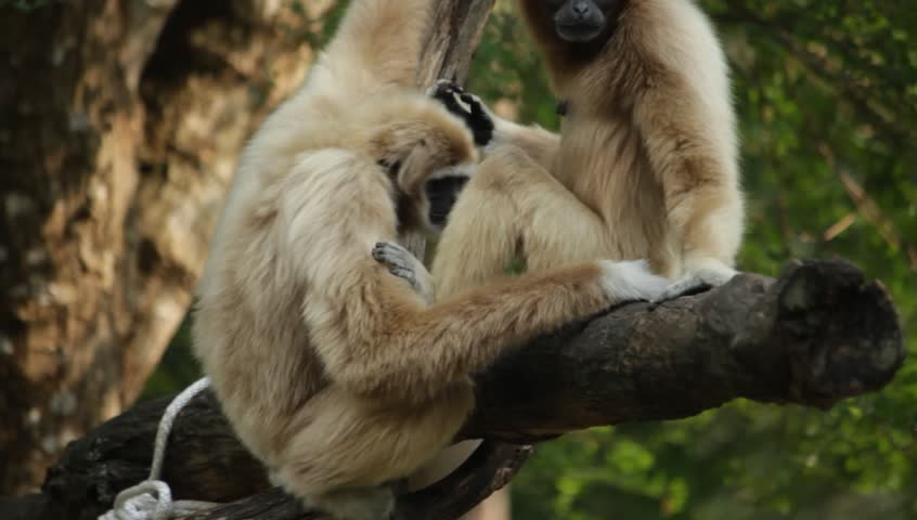 White Cheeked Gibbon in the zoo, Thailand #14261711