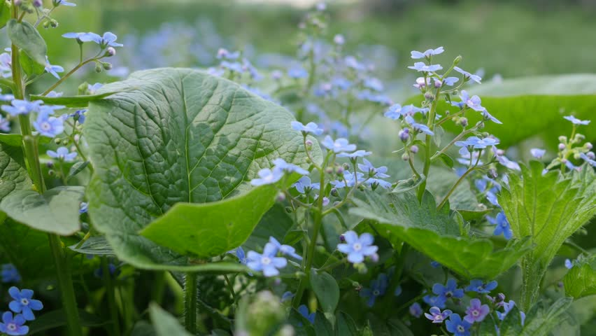 Stock Video Of Green Plant With Small Blue Flowers 14333641 Shutterstock