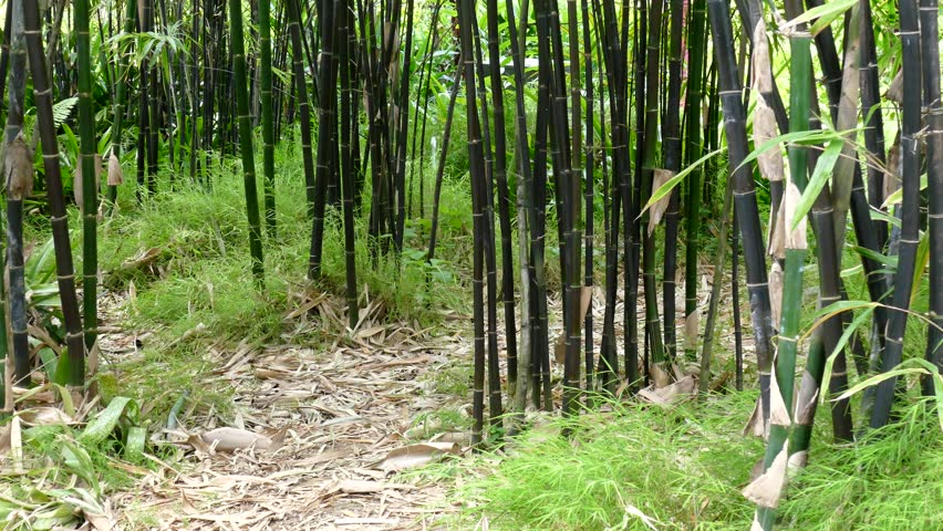 essay about bamboo tree Vernacular and contemporary use of bamboo environmental sciences essay trees most of the species of bamboo essay discusses the probable use of bamboo.