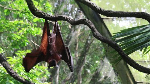 Malayan Flying Fox hanging upside down on a tree branch