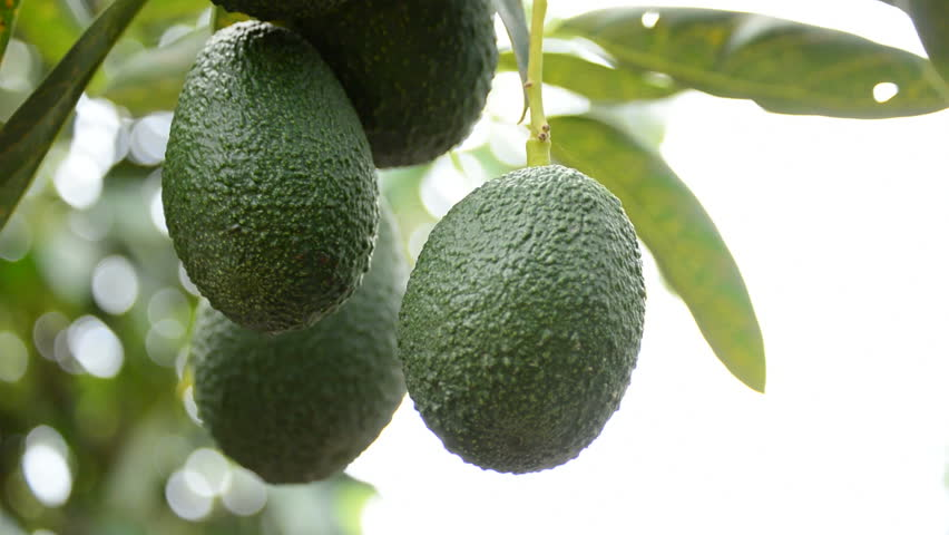 Harvest of avocado hass fruit hanging at branch of tree in a plantation