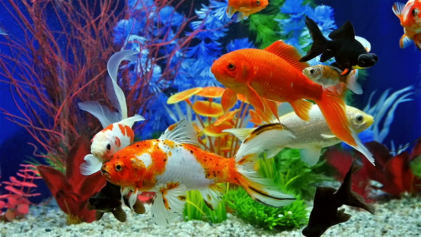 Aquarium With Goldfish Stock Footage Video 404026 ...Fresh Water Aquarium Gold Fish Images
