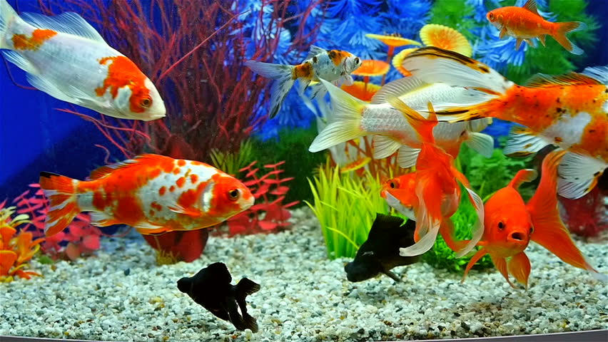 Slow motion of goldfish eating fish food and swimming in for Freshwater fish food