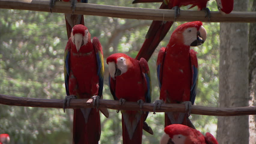 MS SELECTIVE FOCUS Scarlet macaws (Ara macao) perching on branch / Mexico