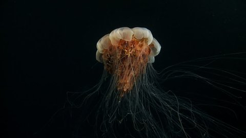 Side view of a lion's mane jellyfish (cnidarian) with tentacles, the largest jellyfish, appearing overnight in the darkness of the Arctic Ocean.