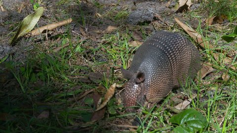 Armadillo searching for food