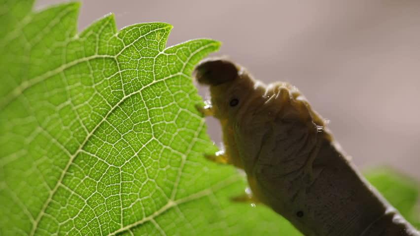 Silkworm eating Mulberry Tree leaf.