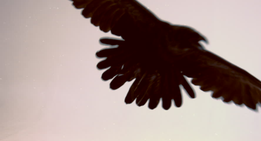 Flight of a black raven on a white background.