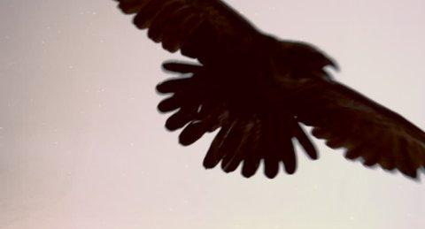 Flight of a black raven on a white background.