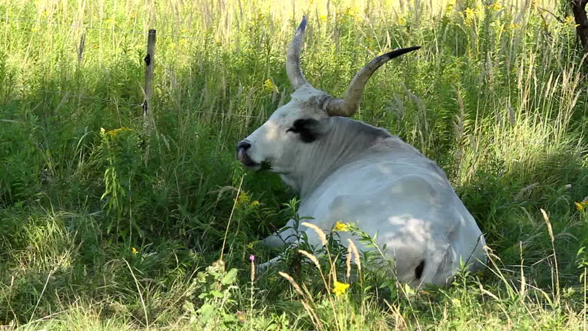 Beautiful hungarian grey bull in the field  | Shutterstock HD Video #1456141