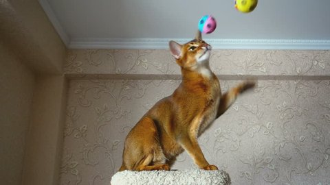 Abyssinian cat playing with ball on the upholstered pedestal, slow motion