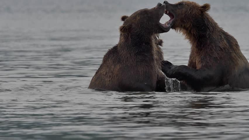 Two brown bears fighting | Shutterstock HD Video #14629591