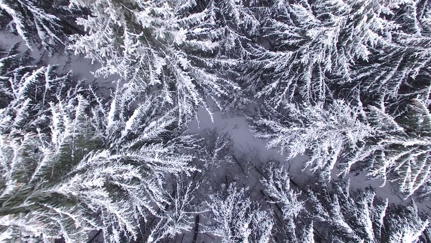 Aerial frozen pine and fir trees in the snow in winter. Many trees, wood. Thick forest aerial view. Helicopter drone footage.