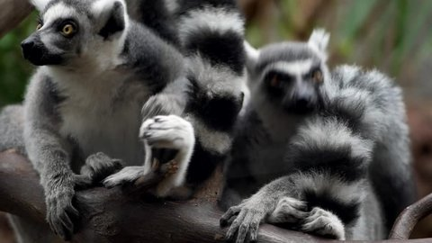 Group of Ring-tailed lemurs (Lemur catta) resting on the tree branch