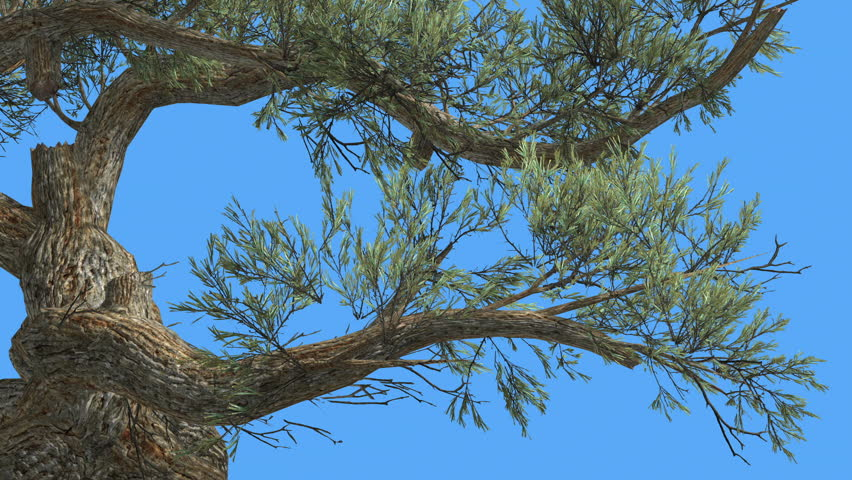 Jeffrey pine, Pinus jeffreyi, Curved Trunk, Tree on a Chroma Key, Alfa, Blue Screen, Coniferous Evergreen Tree is Swaying at the Wind, Needle-Like Glaucous Gray-Green Leaves, Jeffrey's pine, yellow | Shutterstock HD Video #14708071