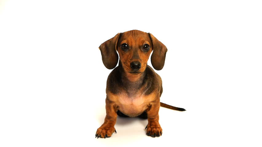 HD - Curious puppy dachshund