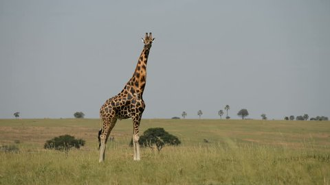 Rothschild's giraffe (Giraffa camelopardalis rothschild), Murchinson Falls National Park, Uganda