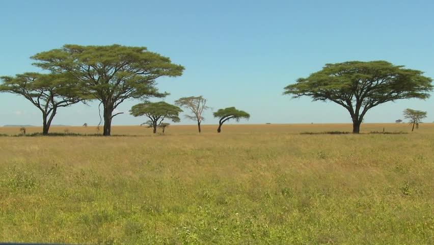 Beautiful acacia trees grown on the African savannah.