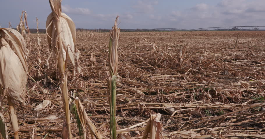 4K Panoramic view of a corn field devastated by drought and hail   | Shutterstock HD Video #14903209