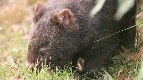 Australian wild Wombat eating grass close up.